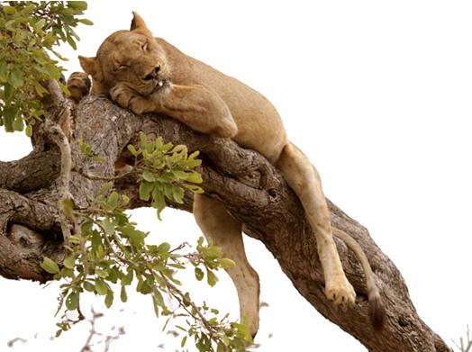 about_africa_serengeti_safaris_lion